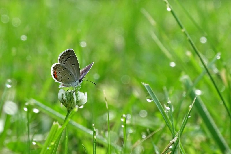 common blue butterfly perched on green grass in close up photography during daytime